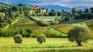 Vineyards and olive trees in a small village Tuscany